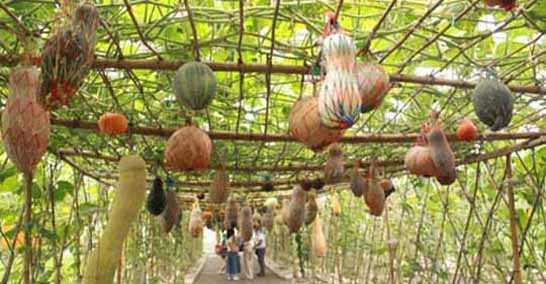 北戴河集发生态观光园—热带植物园 :您可以看到开花的槟榔树,硕果